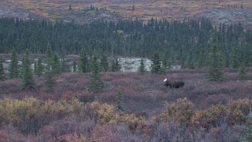 Moose Bull Adult Lone in Autumn Dawn Morning in Denali National Park Alaska