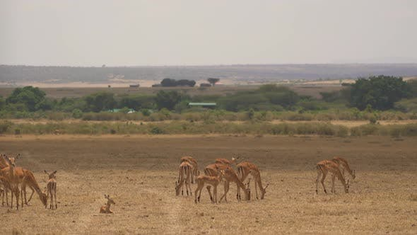 Thumbnail for Female impalas with calf grazing