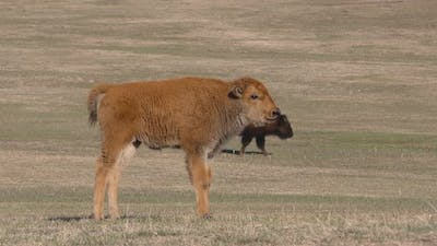 Ground Level Bison Cow and Young Calf Baby Standing Walking in Spring