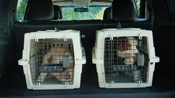 Thumbnail for Two Cages for the Transport of Animals in the Trunk of the Car. Inside Are Two Puppies