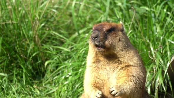 Thumbnail for Marmot is chewing