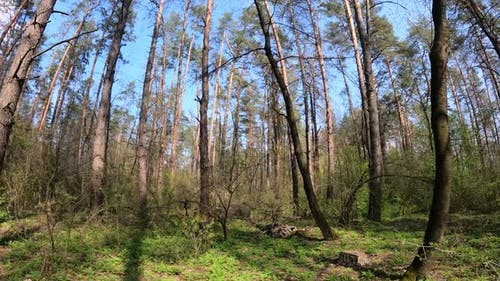 Forest with Pine Trees During the Day POV