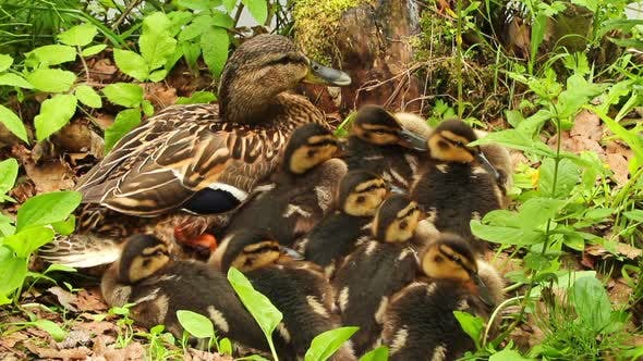 Thumbnail for Mother Duck With Ducklings