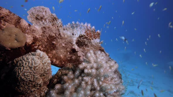 Thumbnail for Tropical Underwater Scorpionfish