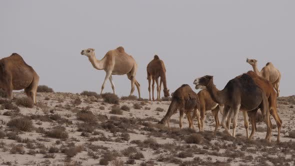 Thumbnail for Herd of dromedary camels in the Western Sahara