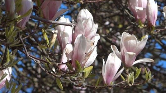 Magnolia Flowers On The Wind - 03