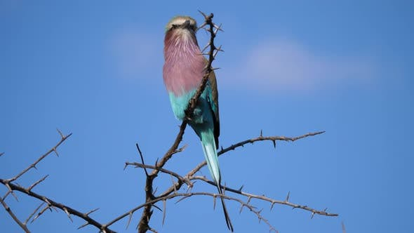 Thumbnail for Lilac-breasted roller on a branch