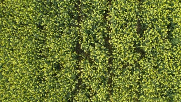 Thumbnail for Aerial View of Growing Blossoming Canola Field