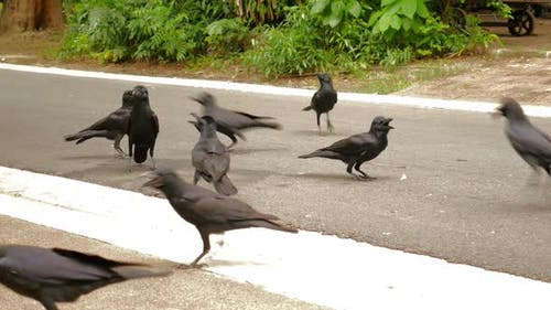 Crows on the Road_01