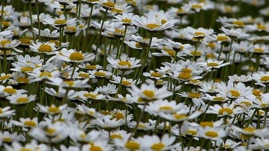 Thumbnail for Daisies (Leucanthemum Maximum) 1