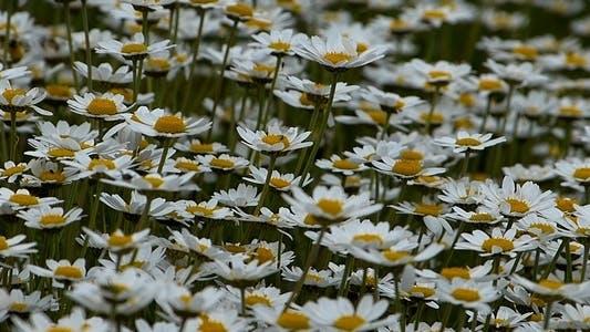 Thumbnail for Daisies (Leucanthemum Maximum) 2