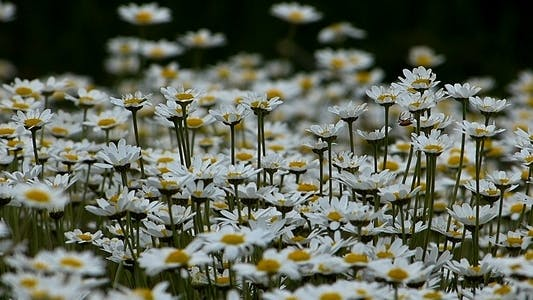 Thumbnail for Daisies (Leucanthemum Maximum) 3