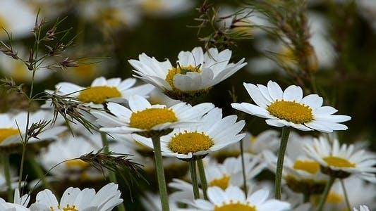 Thumbnail for Daisies (Leucanthemum Maximum) 4
