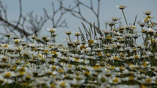 Thumbnail for Daisies (Leucanthemum Maximum) 5
