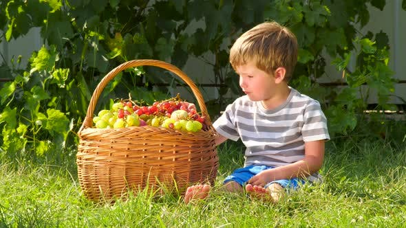 Thumbnail for Boy eating grapes. Basket full of grapes. Harvesting background. Eco living concept. Wine production