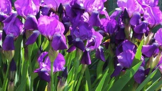 Thumbnail for Iris Flowers