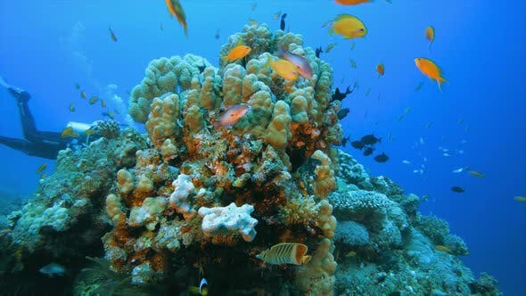Cover Image for Underwater Tropical Reef and Diver