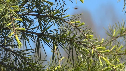 Thumbnail for Fir Branches - 08