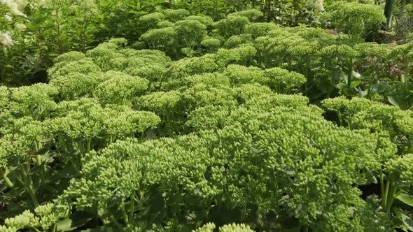 Plante de persil bouclés dans le jardin