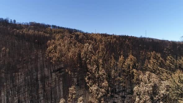 Thumbnail for Flying Over Pines After Big Fire