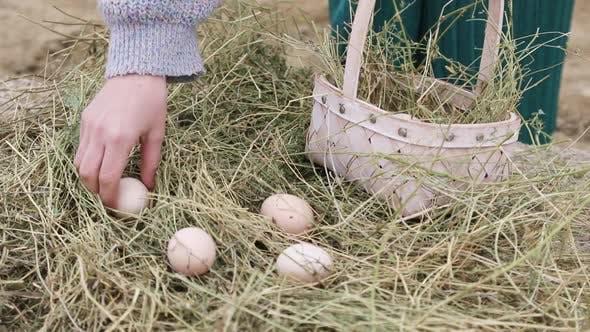 Female Farmer Harvests Fresh Chicken Eggs