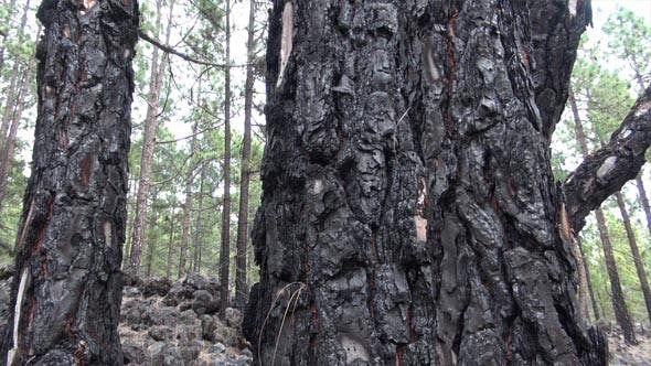 Thumbnail for Forest After Fire