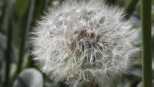 Thumbnail for lonely Dandelion