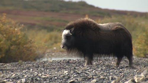 Musk Ox Immature Standing in Autumn Gravel Bar Bed in Alaska
