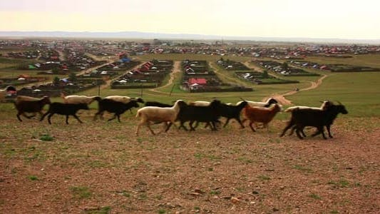 Thumbnail for Sheeps And Goats Running Mongolian Settlement