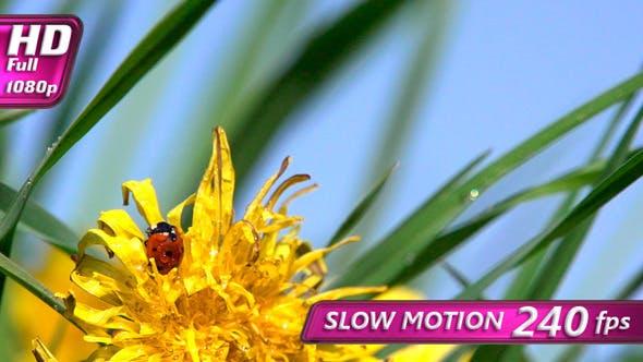 Thumbnail for Ladybug on Dandelion