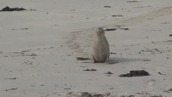 Thumbnail for Sea lion walking on the beach