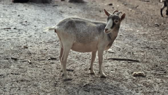 Thumbnail for Goat Looks at Camera and Twists His Head