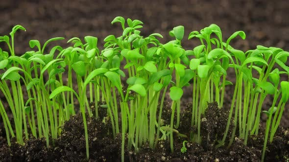 Growing Plants Sprouts Germination Newborn Cress Salad Plant in Greenhouse Agriculture in Rapid