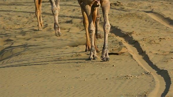 Thumbnail for Camel Caravan