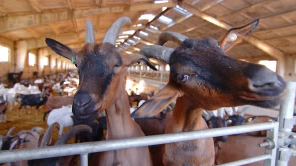 Thumbnail for Two Goats on a Goat Farm Close Up Looking at the Camera. Big Goat Farm with Goats.