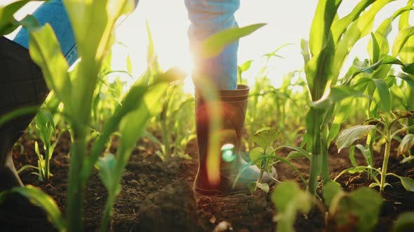 Female Feet in Rubber Boots Stepping Through the Corn Stalks on the Field at Organic Farm