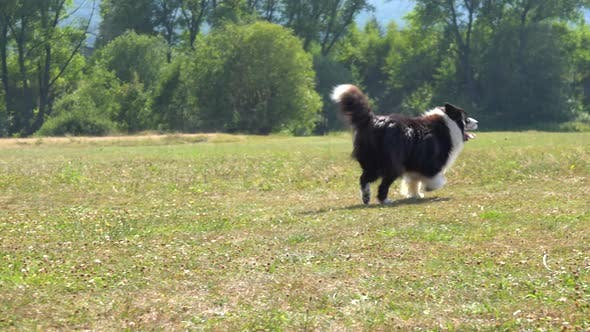 Thumbnail for A Border Collie Runs Across a Meadow and Past the Camera