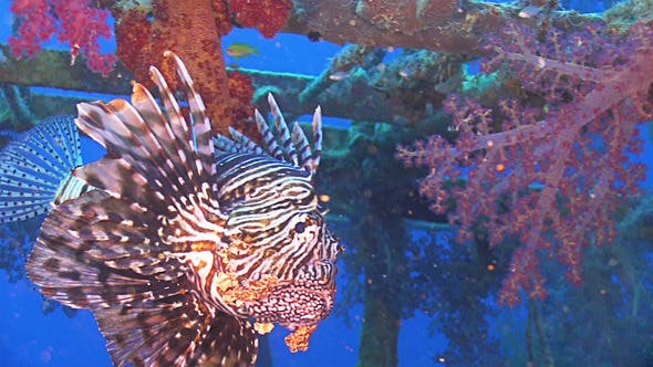 Thumbnail for African lionfish on Shipwreck 660