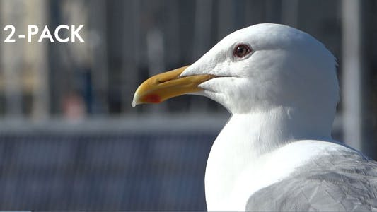 Thumbnail for Seagull In Harbor - Pack of 2