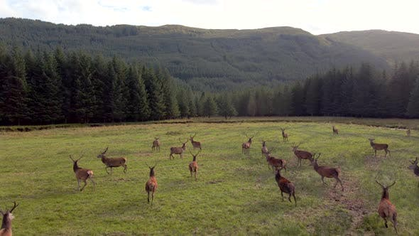 Red Deer In The Scottish Highlands Surrounded By Beautiful Landscape