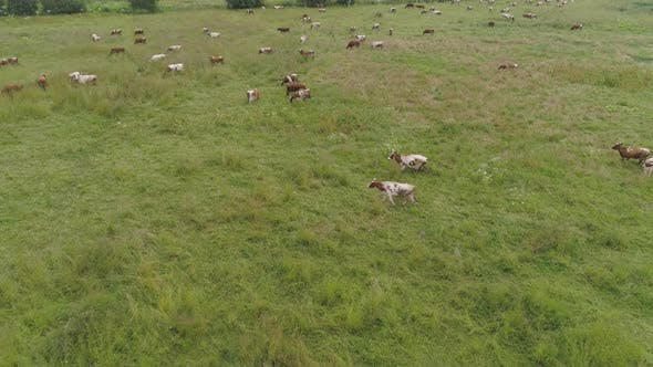 Thumbnail for Cows Graze on Pasture