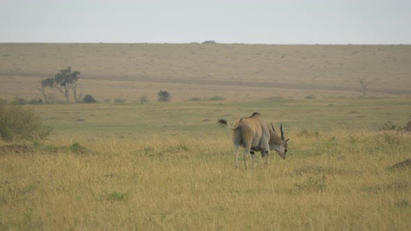 Common eland walking and grazing
