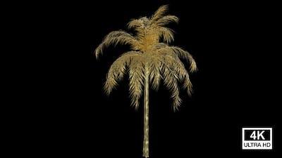 Growing Golden Queen Palm Tree 4K