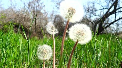 Dandelions in the Spring 6