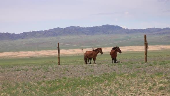 Thumbnail for Mongolian Horses Tied on Rope Holder
