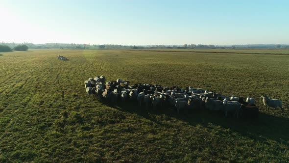 Thumbnail for Aerial View of Sheep Flock Grazing in the Farm Field
