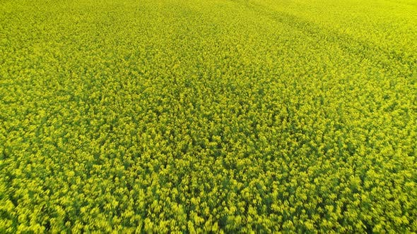 Thumbnail for Yellow Oilseed Rape Field Close Up