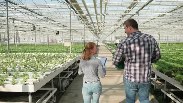 Cover Image for Back View of Farmer Walking with a Box of Green Salad in a Greenhouse