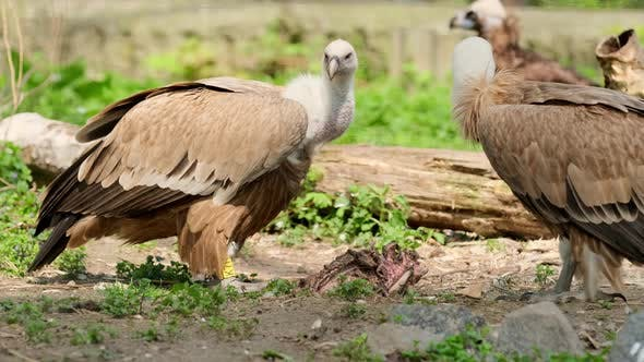 African Vulture Eating Meat From Dead Animal in zoo