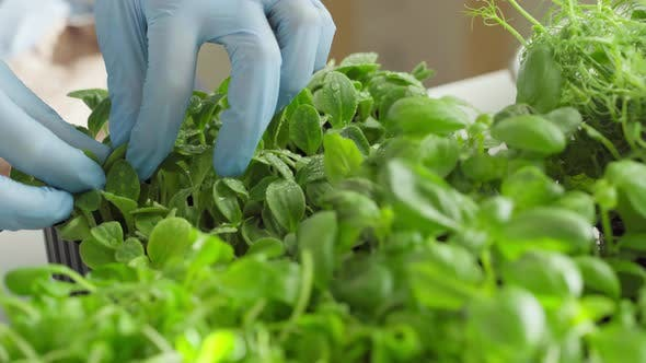 Gloved Hands of a Gardener Touching Sprouts of Microgreen Close Up